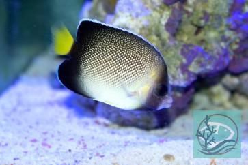 Apolemichtys xanthurus - Indischer Rauchglas - Kaiserfisch