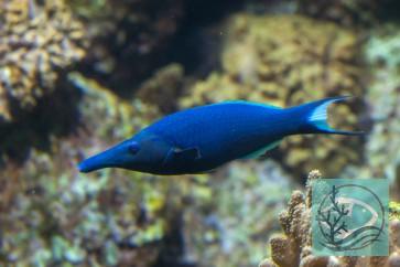 Gomphosus caeruleus - Blauer (grüner) Vogel-Lippfisch