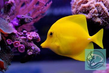 Zebrasoma flavescens - Hawaii Doktorfisch