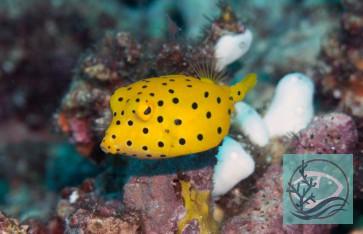 Ostracion cubicus - gewöhnlicher Kofferfisch