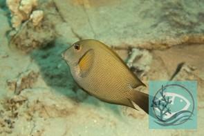 Acanthurus nigrofuscus - Goldtupfen-Doktorfisch