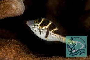 Canthigaster valentini - Sattel-Spitzkopfkugelfisch
