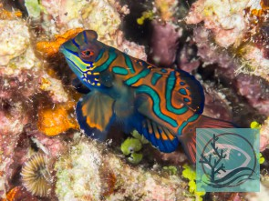 Synchiropus splendidus -  Mandarinfisch-Leierfisch