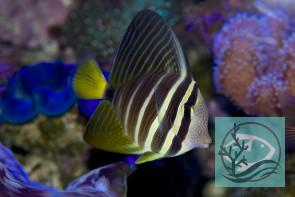 Zebrasoma velifer - Segelflossen-Doktorfisch